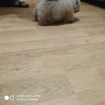 Чау Чау  щенки Кремого, цимтого  окраса от кремовых и голубых родителей
