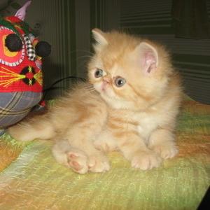 Приму в подарок котенка экзота (полукровку) до 5 мес. или куплю за сим