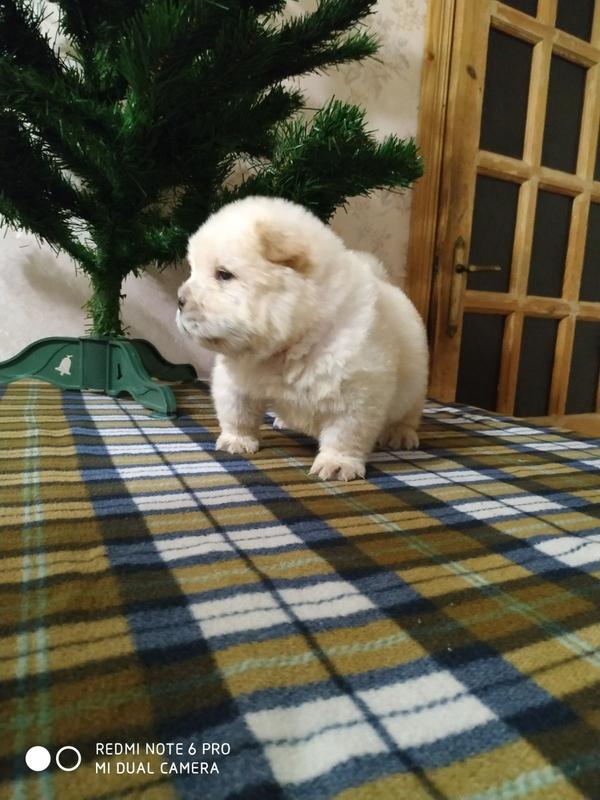 Чау Чау  щенки Кремого, цимтого  окраса от кремовых и голубых родителей 3