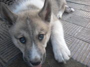 продаю щенков западносибирской лайки